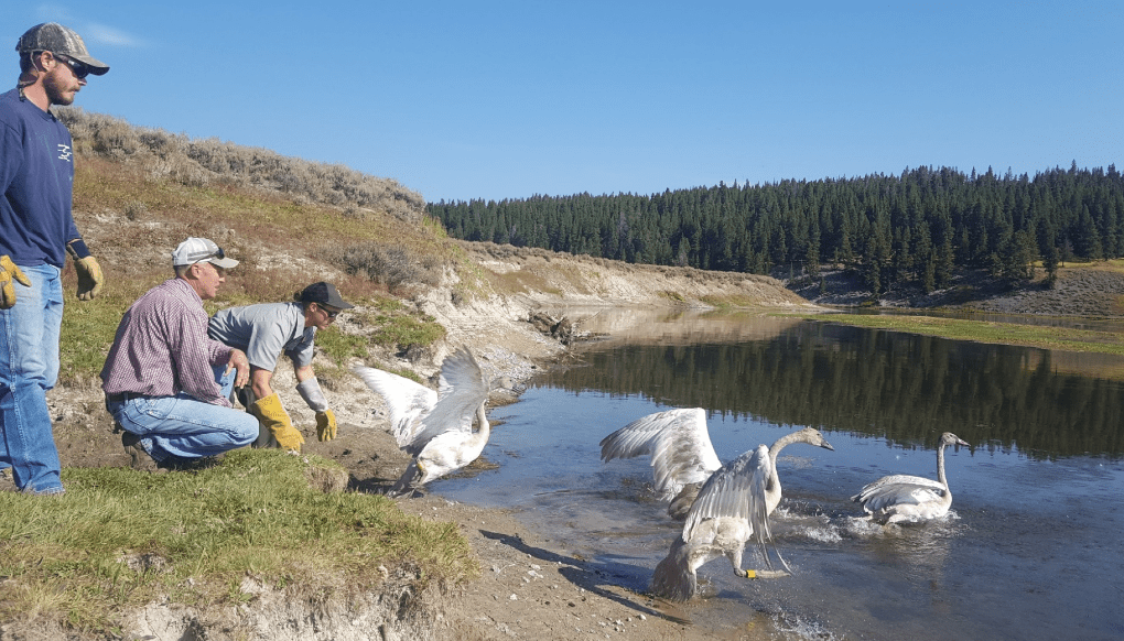 Image of People releasing swans into water