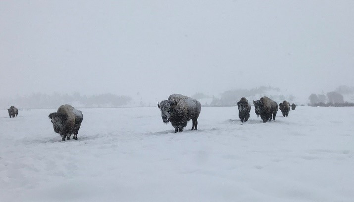 Image of Bison walking in snow